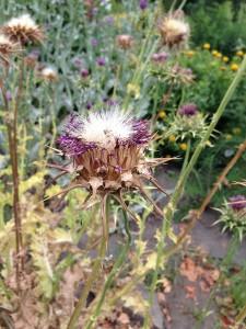 Mariendistel im Botanischen Garten