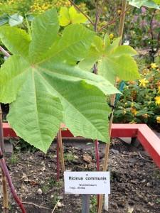 Wunderbaum im Botanischen Garten